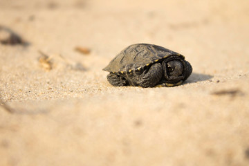 little turtle crawling on sand
