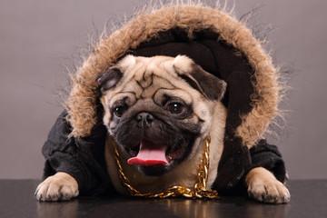Rapper pug dog
