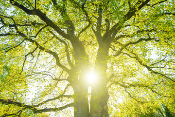 Sun shining through an old oak tree