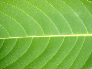 pattern of green teak leaf