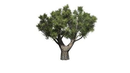 olive tree african - isolated on white background