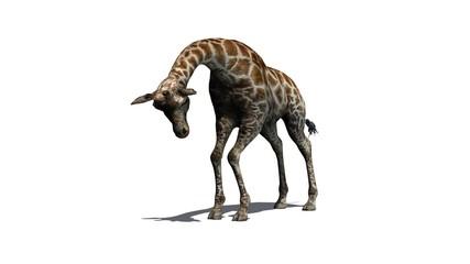 giraffe - isolated on white background