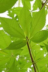 Ohio Buckeye Leaf in Springtime