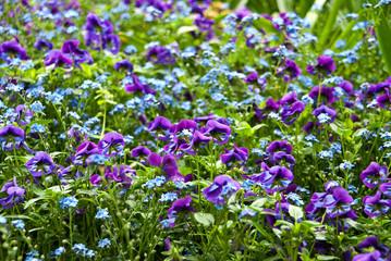 Lila und Blaue Blumen Crocus