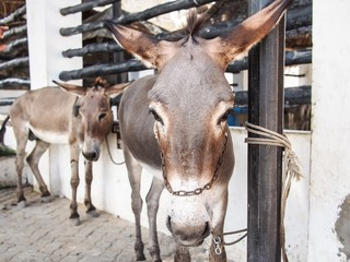 Lamu - Donkeys