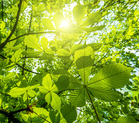 Sun shining through chestnut leaves