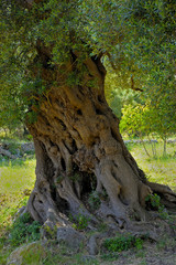 Detail olive tree secular in the countryside of Apulia. Italy