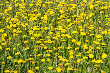 yellow dandelions on green grass