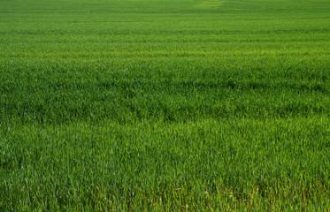 yeşil başaklar