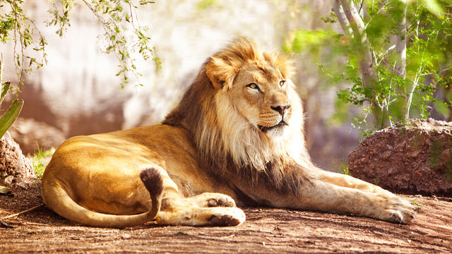 African Lion Laying in Forest