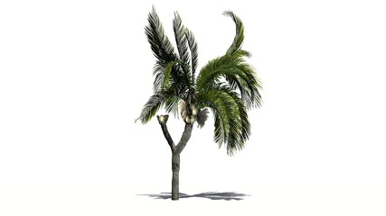 Queen palm tree - isolated on white background