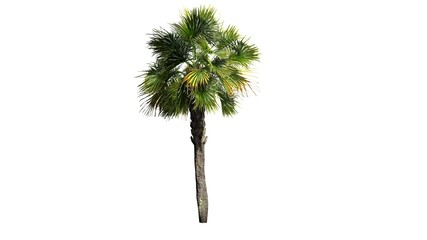 Palmetto palm tree - isolated on white background