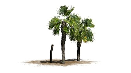 Palmetto palm tree cluster - isolated on white background