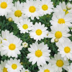 Photo sur Plexiglas Marguerites Lovely sunny blossom daisy flowers background