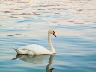 swan swimming on the lake