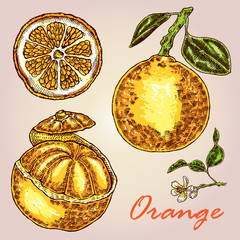 Collection of highly detailed hand drawn orange. Orange vector