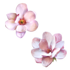 beautiful magnolia, Spring flower isolated