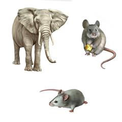 mouse, African elephant (Loxodonta africana)