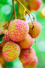 Lychee fruit (asia fruit) on the tree,Chiang Mai, Thailand.