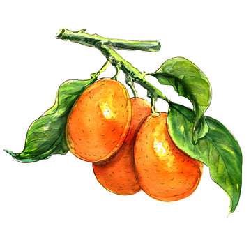 Sweet kumquat citrus fruits with leaf closeup on white