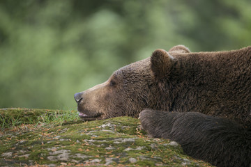 Fototapete - brown bear - Ursus arctos