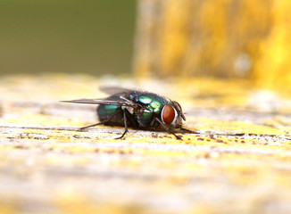 Green fly with big red eyes