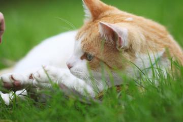 Beautiful white - red cat