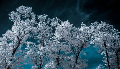Infrared Landscape with White trees and Water