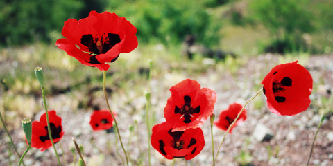 Red Poppies - retro filter. Antalya Province, Turkey.