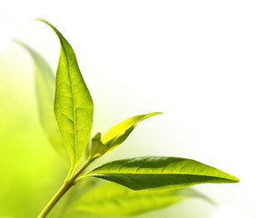Tea tree (Thea sinensis). Picture with space for your text.