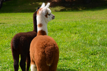 Baby Alpacas in a green field