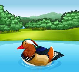 Madarin duck