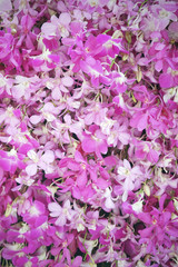 pink and purple dendrobium orchid useful for background