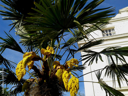 Yellow flowers of a palm tree in front of a victorian building yellow flowers of a palm tree in front of a victorian building mightylinksfo