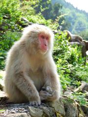 岩の上に座っている猿 (ニホンザル)