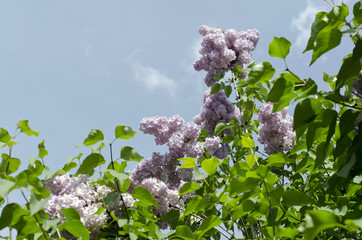 lilac purple flower