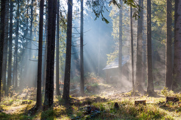 Misty  sunny morning in forest.