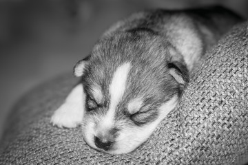 Very little puppy Siberian husky.