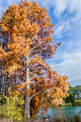 Cyprès chauves en automne