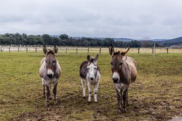 Les ânes dans le champs