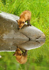 Baby Red Fox stares at his water reflection.