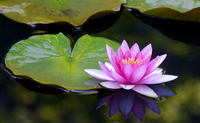 Single pink water lily sits on a green pad.