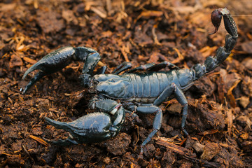Scorpions in the forest, can harm humans.