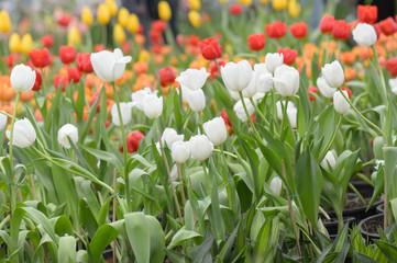 Beautiful bouquet of tulips, tulips in spring,colourful tulips.