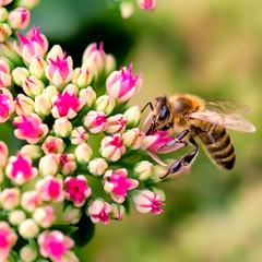 blume,,biene, frühling, sommer, blüte, bienen, honig