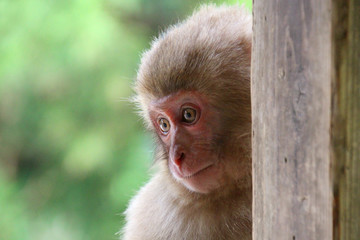 野生の子猿 - Child of Japanese macaque