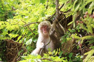 野生のニホンザル - Wild Japanese macaque