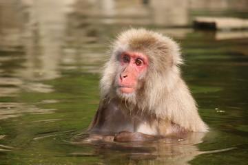 温泉につかるニホンザル - Wild Japanese macaque
