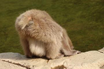 水を飲むニホンザルのお尻 - Wild Japanese macaque