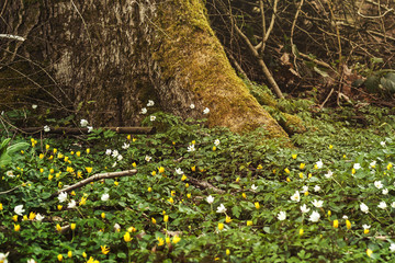 yellow and white wild anemones carpet on the foot of a tree in a